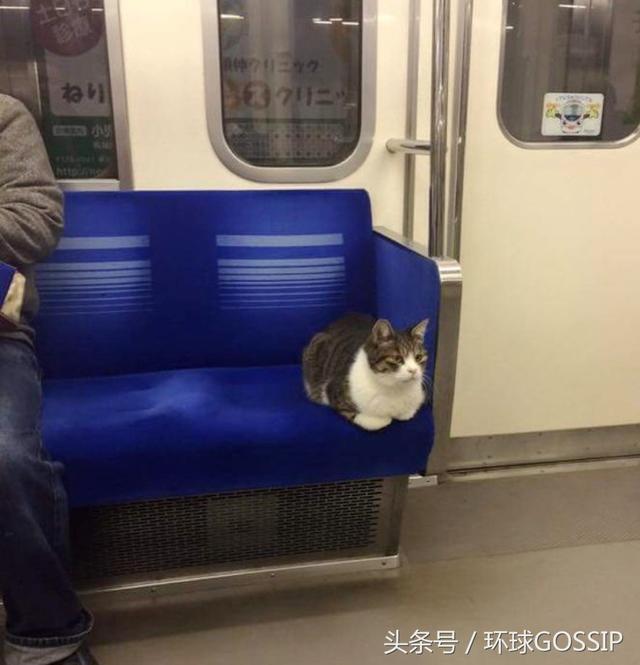 """日本东京""""通勤猫"""",每天都来坐地铁,很懂礼貌,有时还带猫友"""